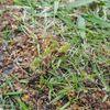 【緊急】ラン×スマを観て芝生で裸足ランを始める前に知っておいて欲しい「メリケントキンソウ」の事