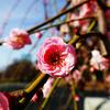 大阪城公園に梅を見に行ったら穴場を見つけた話