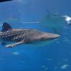 青い海に青い空!日本屈指の観光スポット、沖縄の『美ら海水族館』を紹介!
