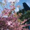 新宿を散歩していたら梅が咲いていました♪♪