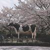愛媛の桜レポート Part③