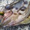 【パームスのビットアーツで10目チャレンジ】2魚種追加!!パームスのビズで、高級根魚が釣れた!!!