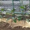 農作業と「ケセラ・セラ」