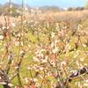 南濃梅園と早咲き大寒桜