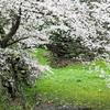 まだ桜でひっぱって大丈夫ですか?
