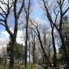 散歩にて。高い桜の木と茎のないタンポポ