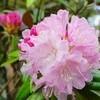 「シャクナゲ(石楠花)」の花、オンパレード。