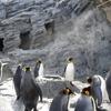 旭山動物園のペンギンはふてぶてしく散歩していた