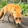 北海道で遭遇できる動物!!遭遇した時のルール。人懐っこいキタキツネに遭遇した!
