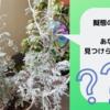 白妙菊に《擬態》する虫、あなたは見つけられるかな?