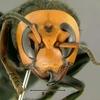 全ては女王蜂のために!スズメバチが秋に凶暴化する理由