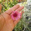 矢車菊に濃いピンクや紫の花!