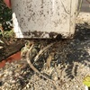 #8 オリヅルラン 鉢底から出た根