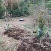 山の畑にハルサザンカ を植える