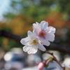 桜晴れ続き