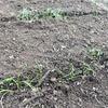 菜園:やっぱりホッとする発芽