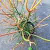 ダイソー産ルピナスのすこぶる発芽!紅葉するミルクブッシュと危うい七福神と復活の七福神