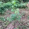 山の畑 父の生誕88年を記念して植樹