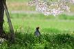 桜と鳥さん