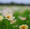 【東京都 立川】昭和記念公園でコスモス畑が見たい!
