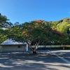 用を済ませた後,ふっと思いたって回り道.鎌倉大仏まで車を走らせました.  目的地は大仏殿ではなく,その裏の駐車場.鎌倉で,一番大きな(多分)サルスベリがあるからです.     もう満開だろうと胸躍らせて着いてみると----  残念ながら三分咲きといったところ.一昨年は8月7日に訪れて,満開だったのに.長雨のせいで開花が遅れたのでしょう.見頃は1週間後? Let's try again.
