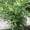 元気がなくなっていました金柑の木でしたけど、元気取り戻しました。