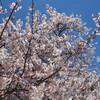 桜、満開間近!