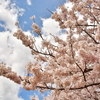 桜と断酒と