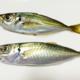 【初心者向け】サビキで釣れるアジは1種類だけではない!「マアジ」と「マルアジ」は何が違う?