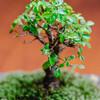 購入1ヶ月半後の室内ケヤキ盆栽の現状。盆栽って楽しい!