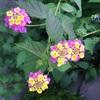 今日の花「ランタナ」