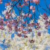 まだ楽しめる桜:森林研