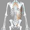 テニスの解剖学!4.5 ~菱形筋と前鋸筋と腹斜筋の筋膜連結~