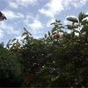 庭の柿紅葉