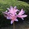 ナツズイセンの花