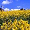 神戸総合運動公園の菜の花を見てきた