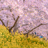 梅は咲いたか 桜はまだかいな。まつだ桜まつりは満開でした。