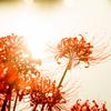 愛知一の彼岸花の名所!!半田市矢勝川で彼岸花を撮ってきた!【ごんの秋まつり】