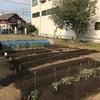 GW苗植え
