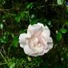 バラが咲いた。