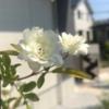 【白モッコウバラ】ガーデンアーチに誘引後の成長と2年目の開花~花数が少なくなる原因も考察