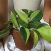 コントラストがきれいなオキシカルジウムとコーヒーの木のツヤツヤした葉っぱ