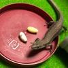ニホンカナヘビ、初めて産卵する。