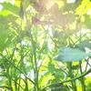 【2018.8.1~8.31】オクラの虫と半透明な抜け殻