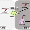 じじぃの「SASP・老化細胞が炎症やがんを引き起こす!がんはなぜできるのか」