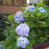 紫陽花がきれいな季節