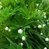 庭の草花 古くから生息している草花🌼