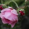 庭のバラ02