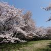 香川)紫雲出山(しうでやま)の桜