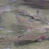 肴の川魚料理【虹鱒の冷燻製】